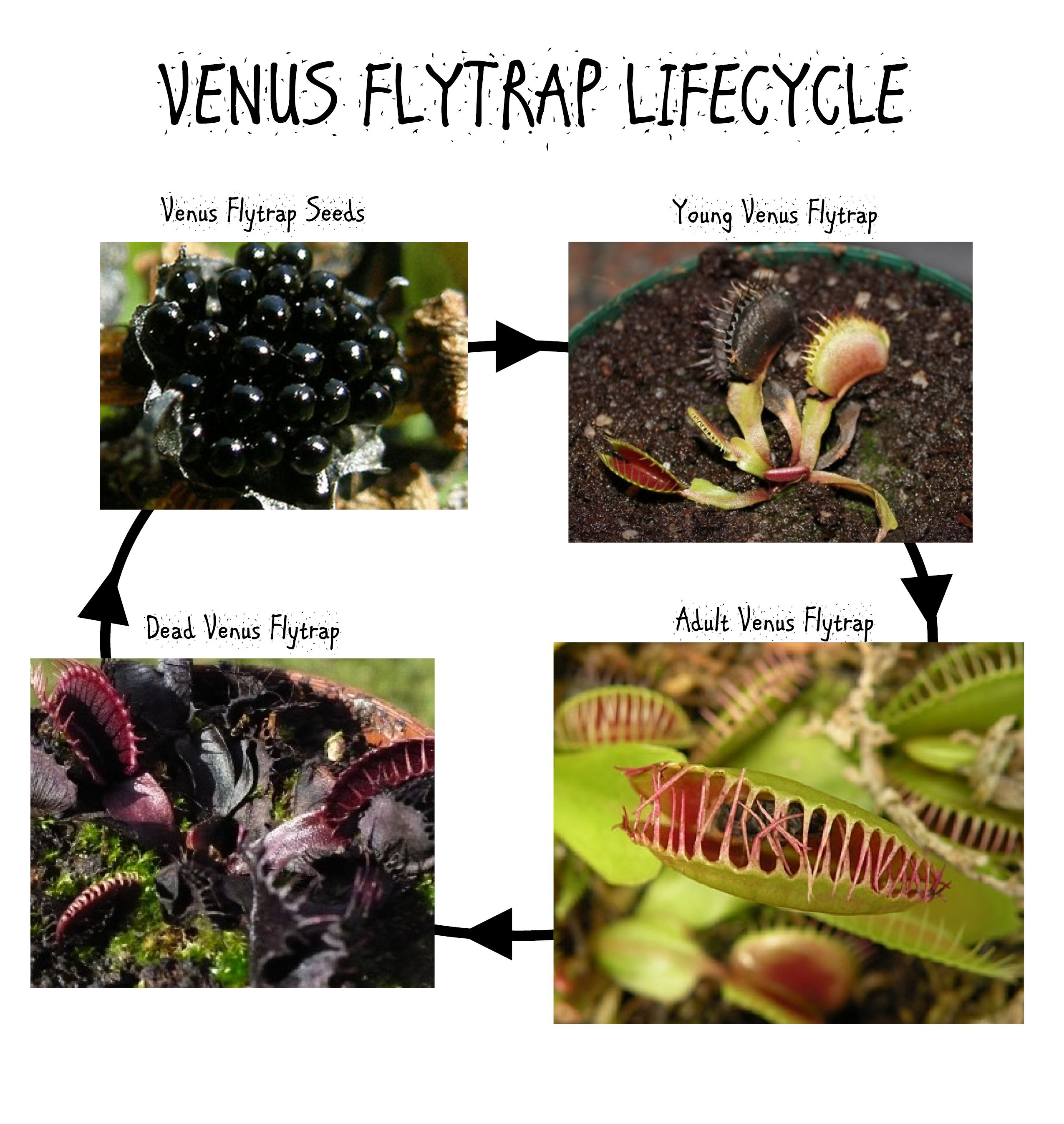 venus flytrap venusflytrap lifecycle k i d s pinterest rh pinterest com Dionaea Muscipula Life Cycle Conifer Life Cycle Diagram