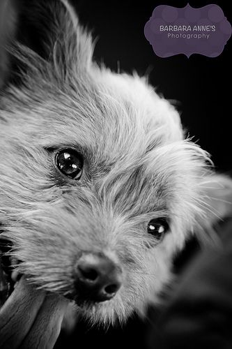 Img 7895 Norwich Terrier Norwich Terrier Puppy Terrier Breeds