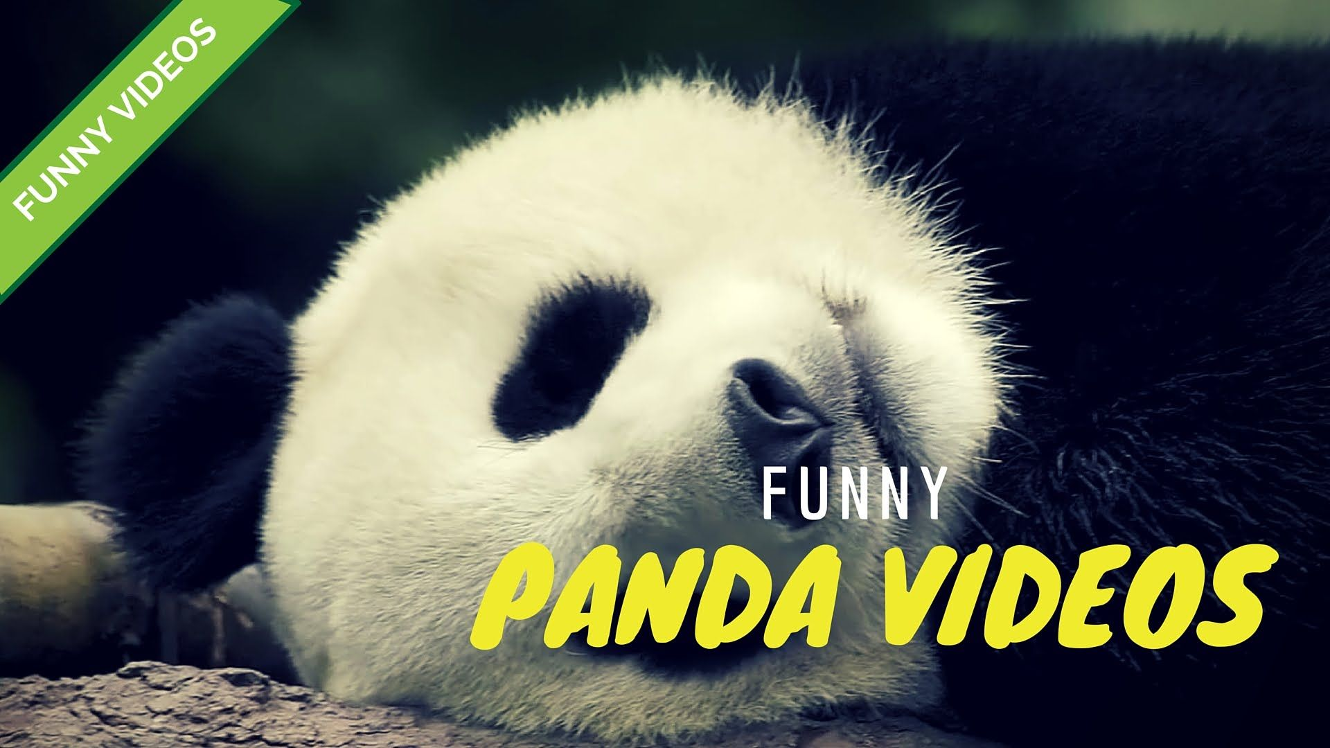 These will make you laugh for sure funniest panda video