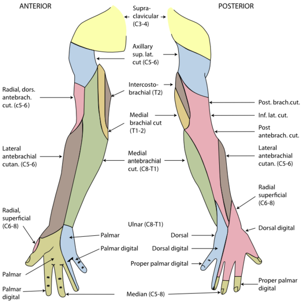 Human Anatomy And Physiology Course: General Anatomy of Human Arms ...
