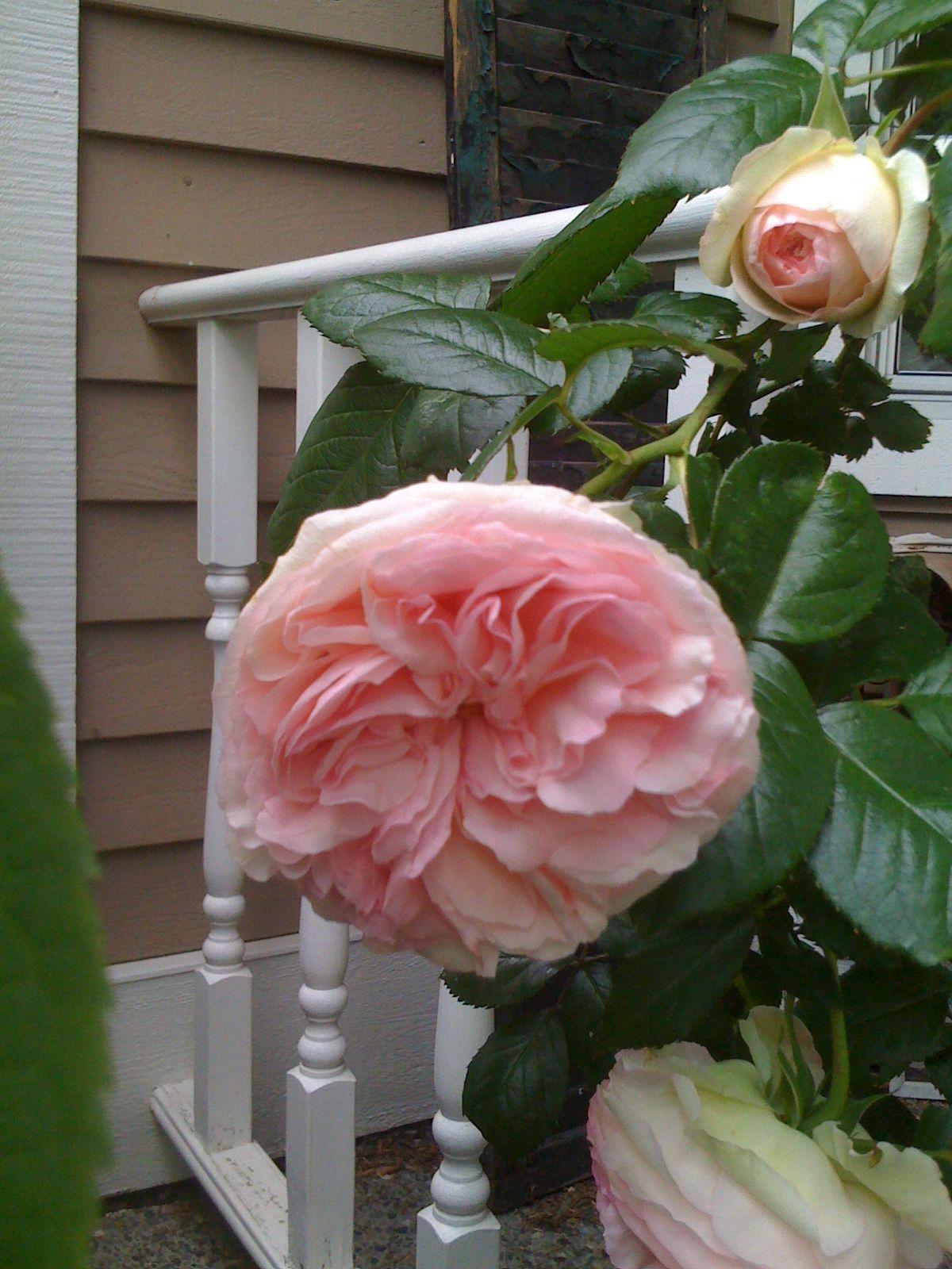 Climbing pink Eden Rose