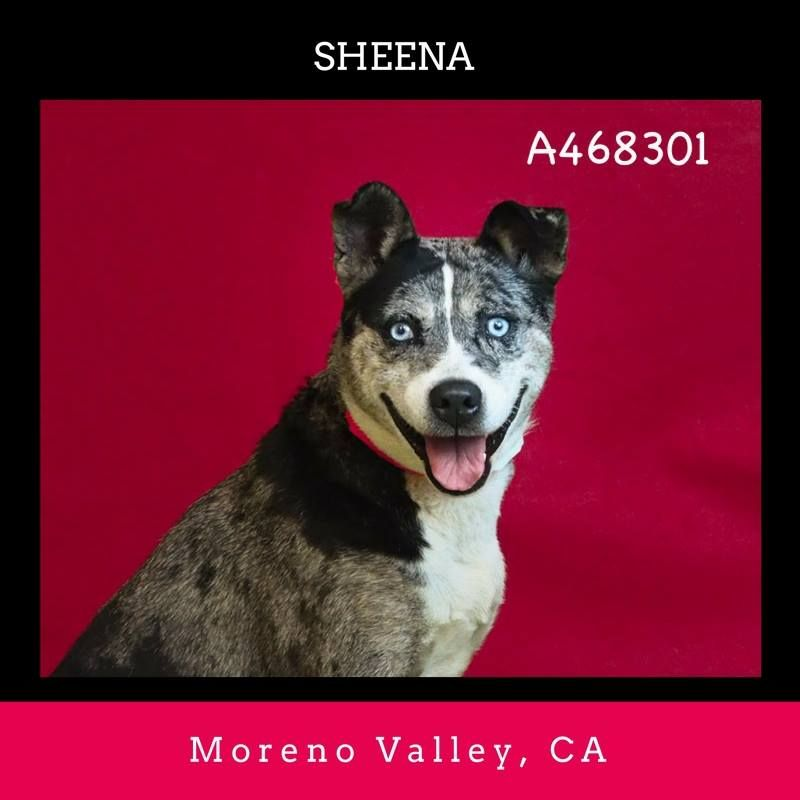 BECOMES URGENT & AT RISK TO BE TO BE PUT DOWN AFTER NOV 15TH ★  SHEENA #A468301 (Moreno Valley, CA) Female, blu brindl Queensland Heeler mix. The shelter thinks I am about 2 years. I have been at the shelter since Nov 05, 2016 and I may be available for adoption on Nov 15, 2016 at 3:32PM. https://www.facebook.com/FriendsOfMorenoValleyShelterAnimals/photos/a.517647185056739.1073741988.135559229932205/715279698626819/?type=3&theater