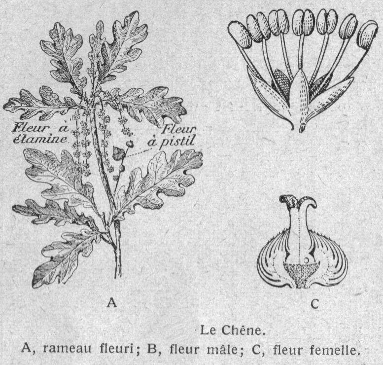 Dessins Botanique Image 56 Chene Rameau Fleuri Fleur Male