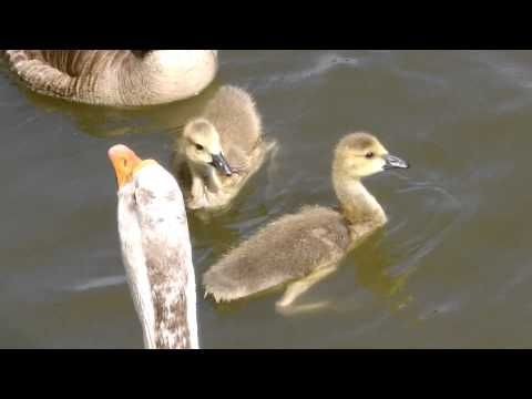 Beautiful ducks at the pond - YouTube