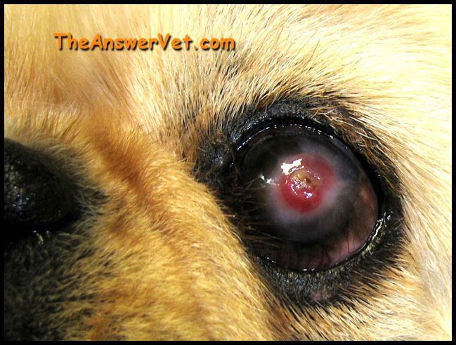 My Dogs Eye Has Gone Cloudy