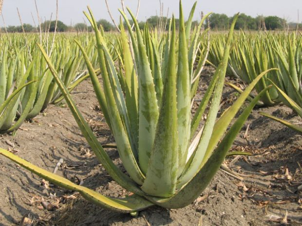 Aloe Vera Aloe Vera Plants Aloe