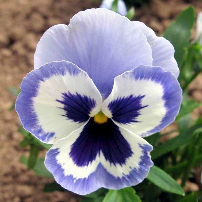 Pansy Adonis Sweet Perfumed Flavor Related Flowers Johnny Jump Ups Or Violas And Pansies Now Come In Colorful Purples Pansies Flowers Pansies Flower Seeds