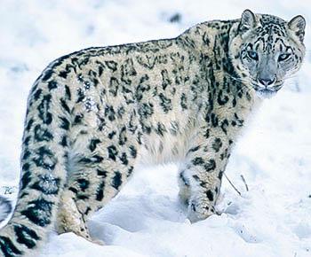 Snow Leopards Pebblego Snow Leopard Leopards Animals