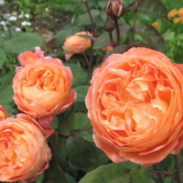Lady Emma Hamilton Rose. Exquisite!