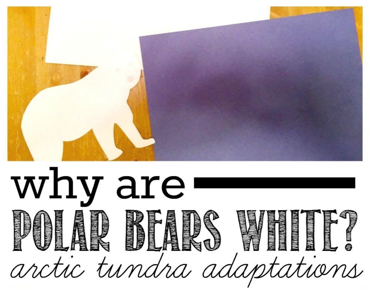 Why Are Polar Bears White