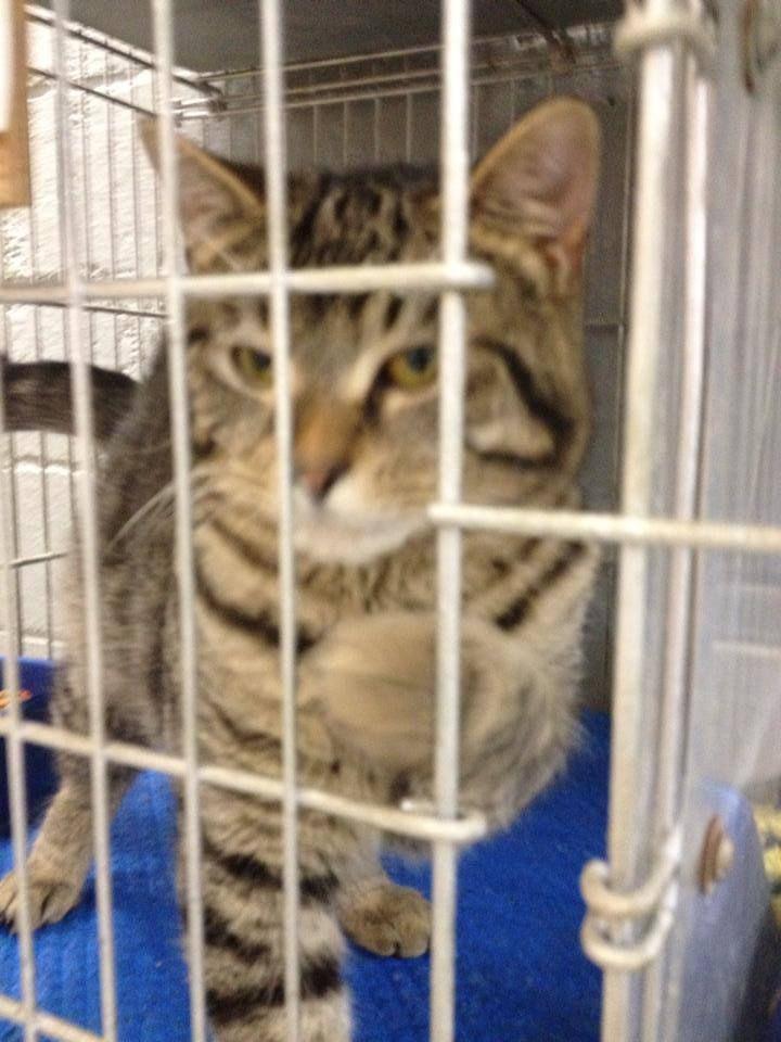 URGENT!!Meet a14352 tiger tabby a Petfinder adoptable