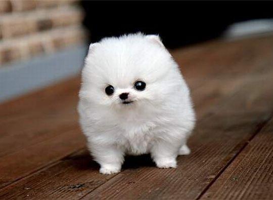 Most Inspiring Fluff Ball Adorable Dog - 8020d159e73a2929b9e05528930f8ba1  Image_718589  .jpg