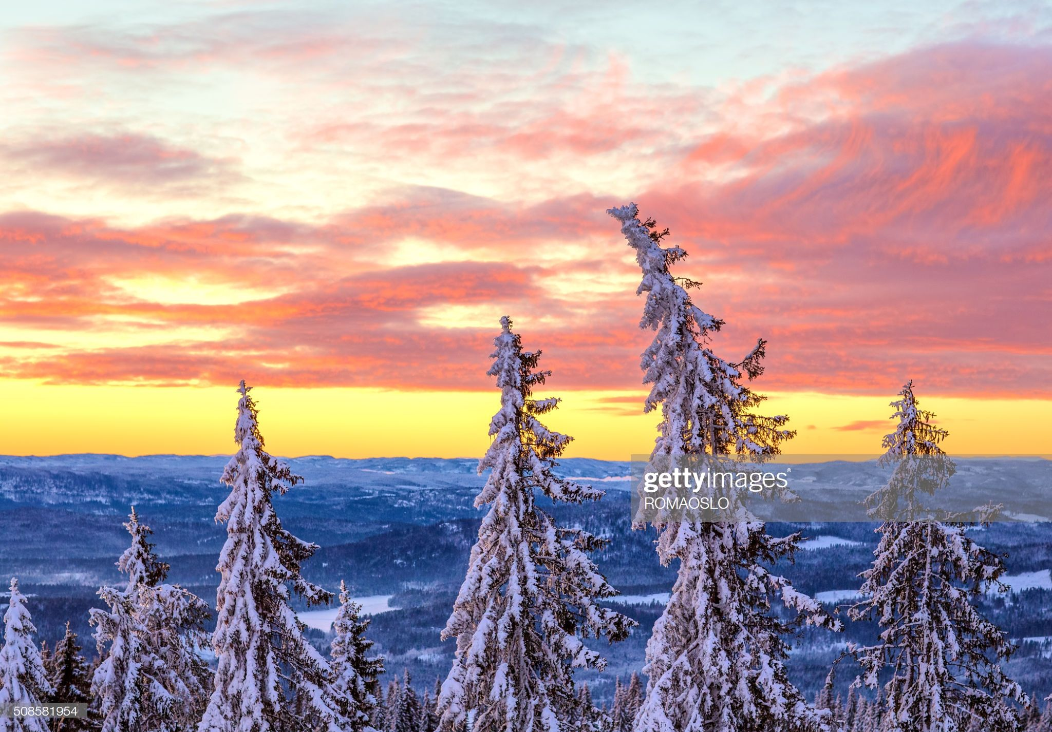 Snow Covered Spruce Tree Forest At Sunset In January Oslo Norway Spruce Tree Tree Forest Oslo Sunset forest snow winter spruce trees