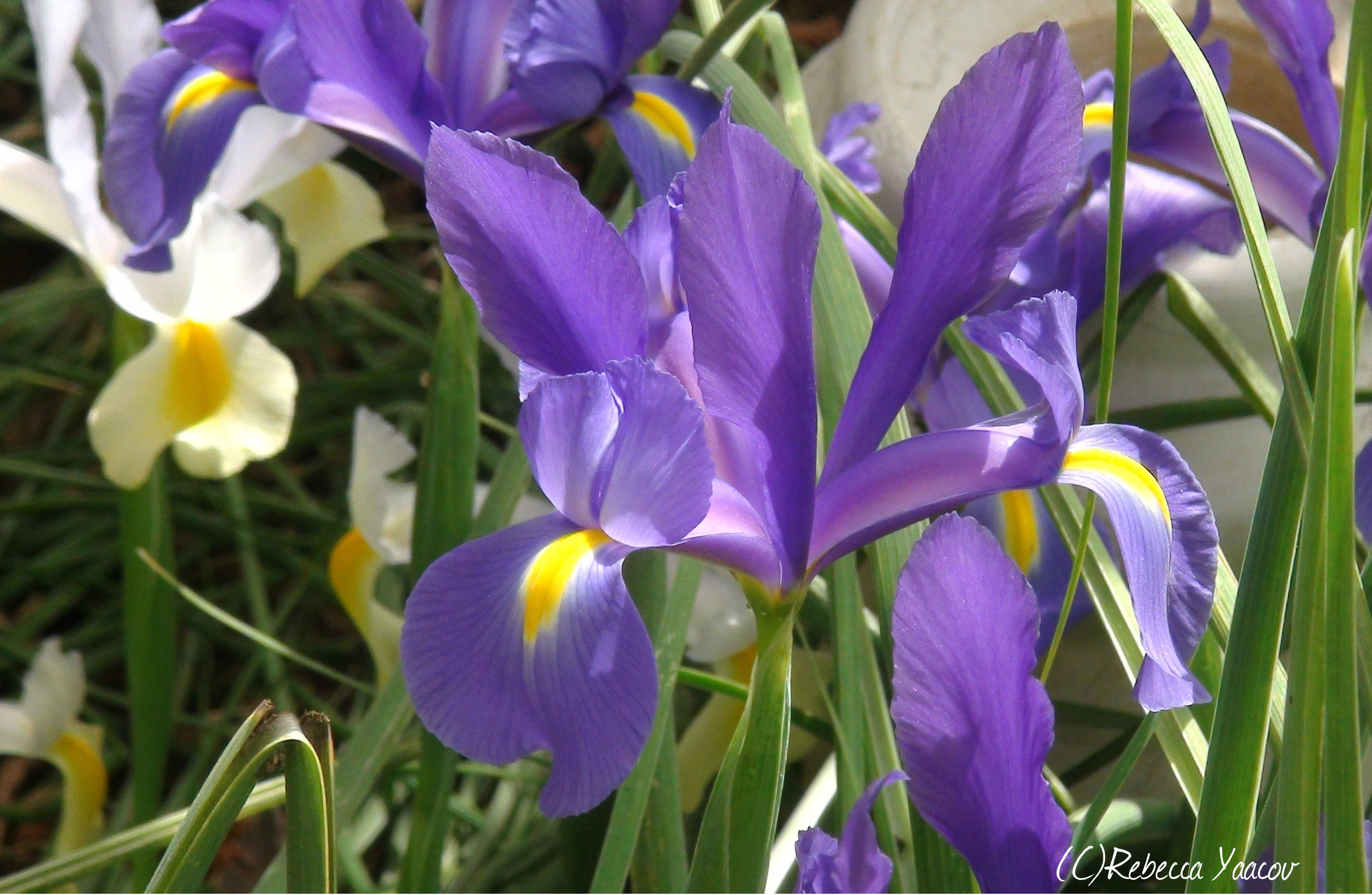 Iris Flower Energy Connects You To Your Inner Self Flower Meanings Iris Flowers Purple Flowers