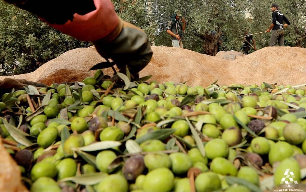 Workers harvest olives in the village of Deddeh in Lebanon's Koura district north of the capital #Beirut  #Lebanon #WeAreLebanon