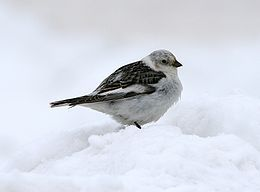 Snøspurv, Snytiting,Plectrophenax nivalis