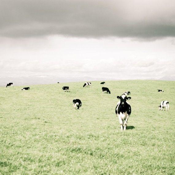 Cow photograph - black and white cows - farmhouse art - green rustic ...