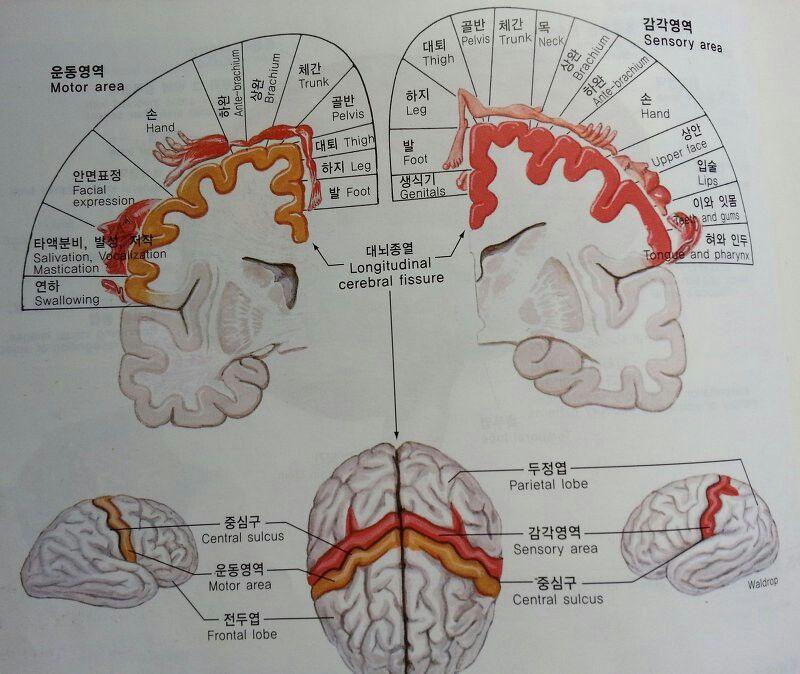 대뇌피질의 운동과 감각영역 ᆞ운동영역은 골격근을 조절하며, ᆞ감각영역은 체성감각을 받아들인다