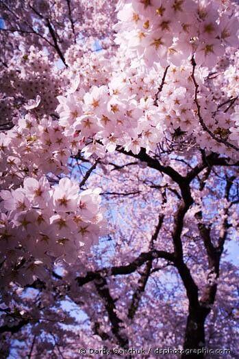 Cherry Blossoms Blossom Trees Cherry Blossom Blossom