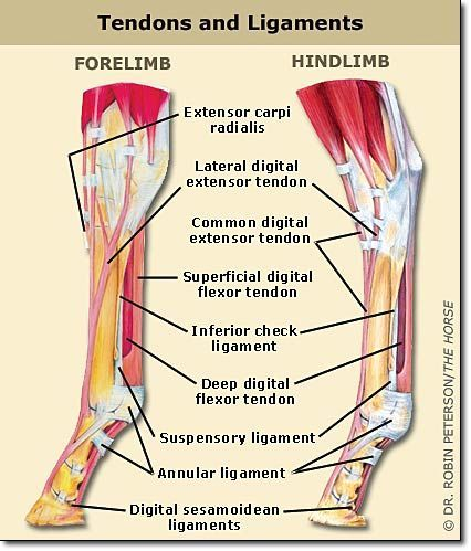 Equine Anatomy  Tendons  Ligaments Another Great Hoof Website