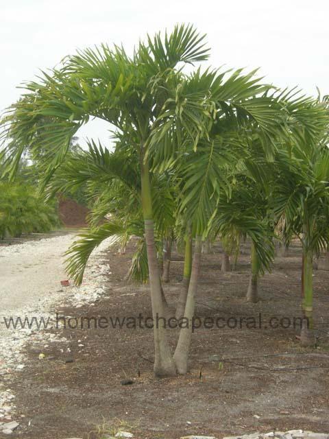 entracing palm tree type house plant. dwarf royal palms  Google Search Backyard Landscape Pinterest