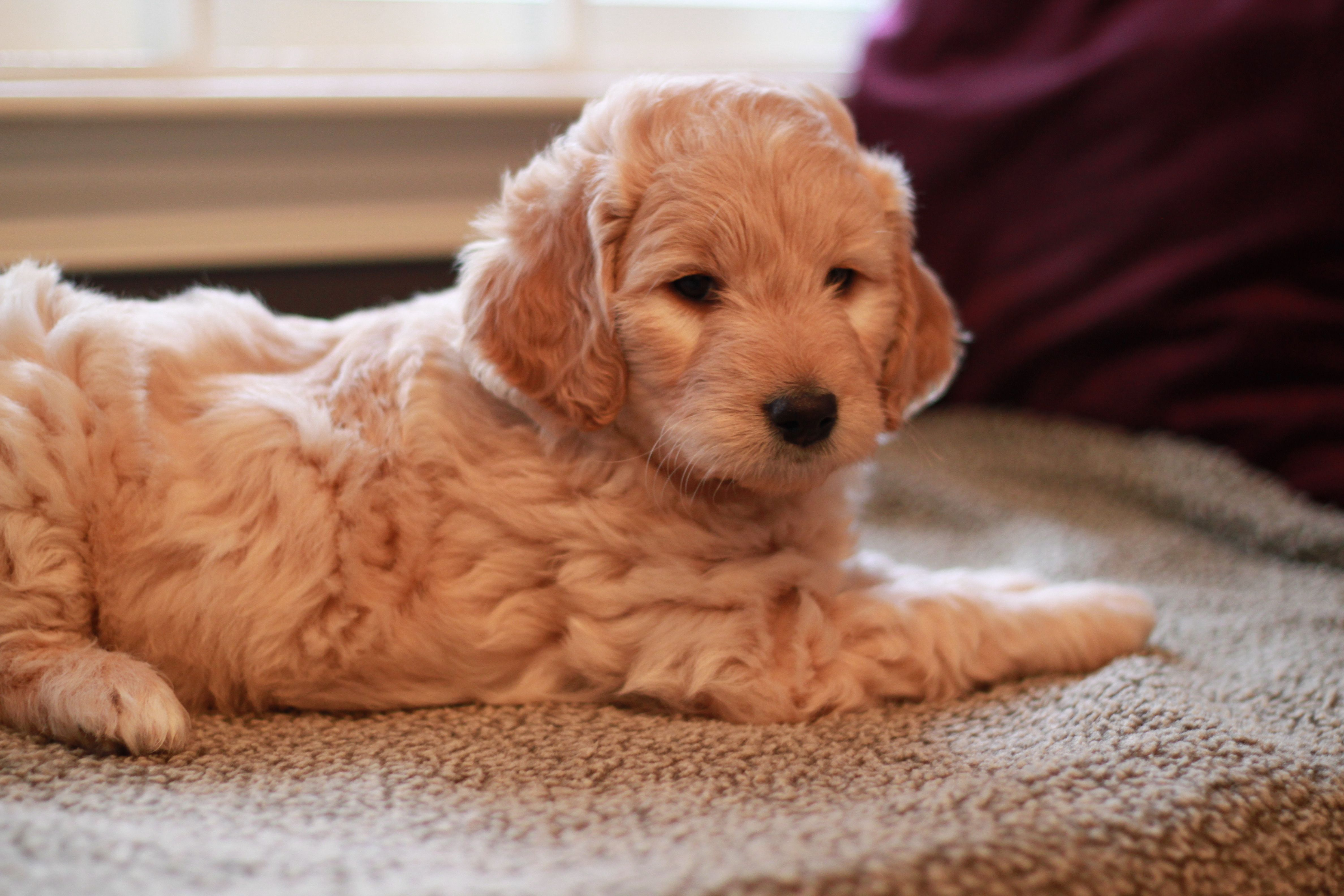 Einstein The Goldendoodle Puppy From River Valley Doodles