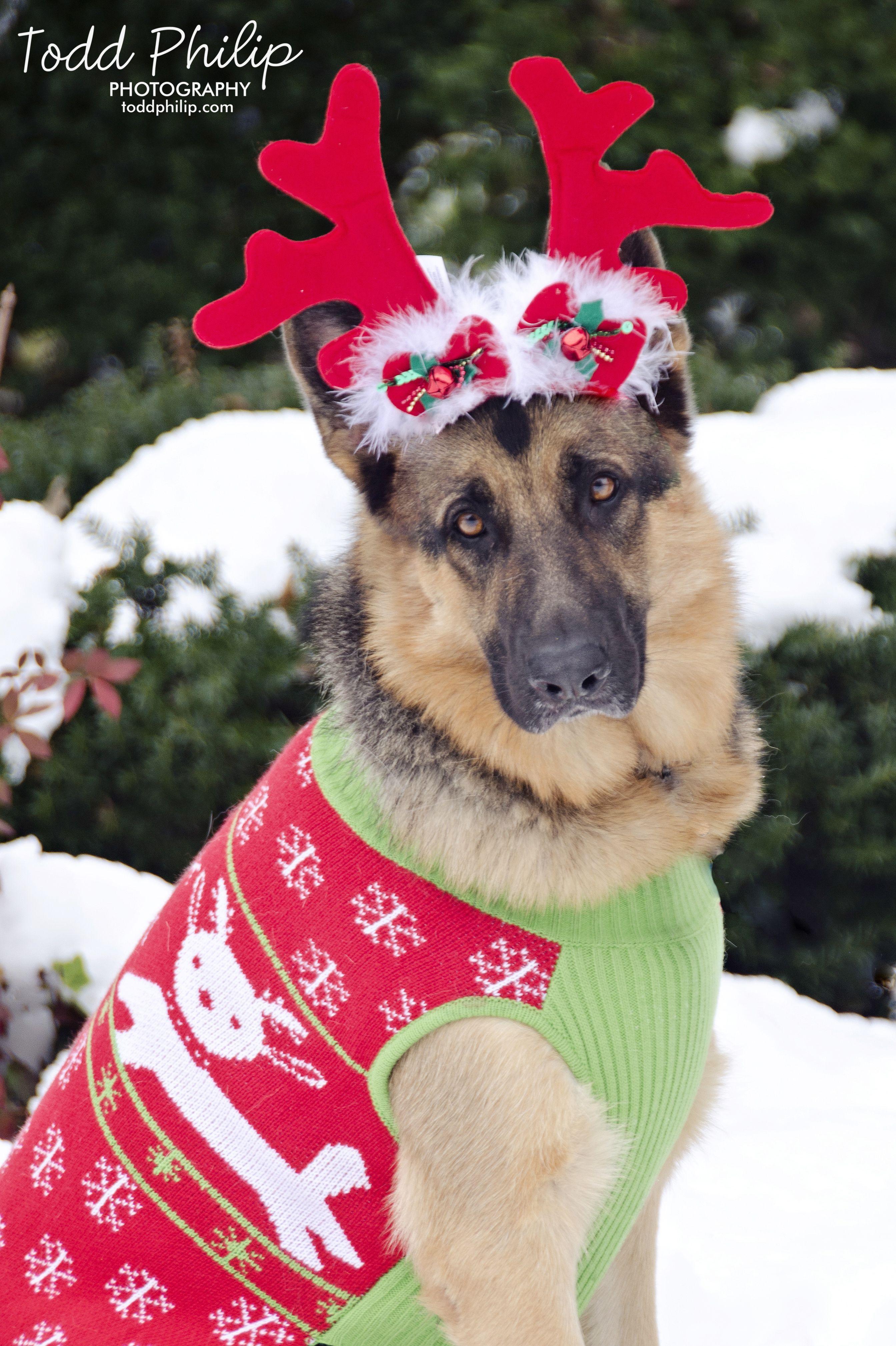 holiday, german shepherd, christmas, snow, dog, sweater
