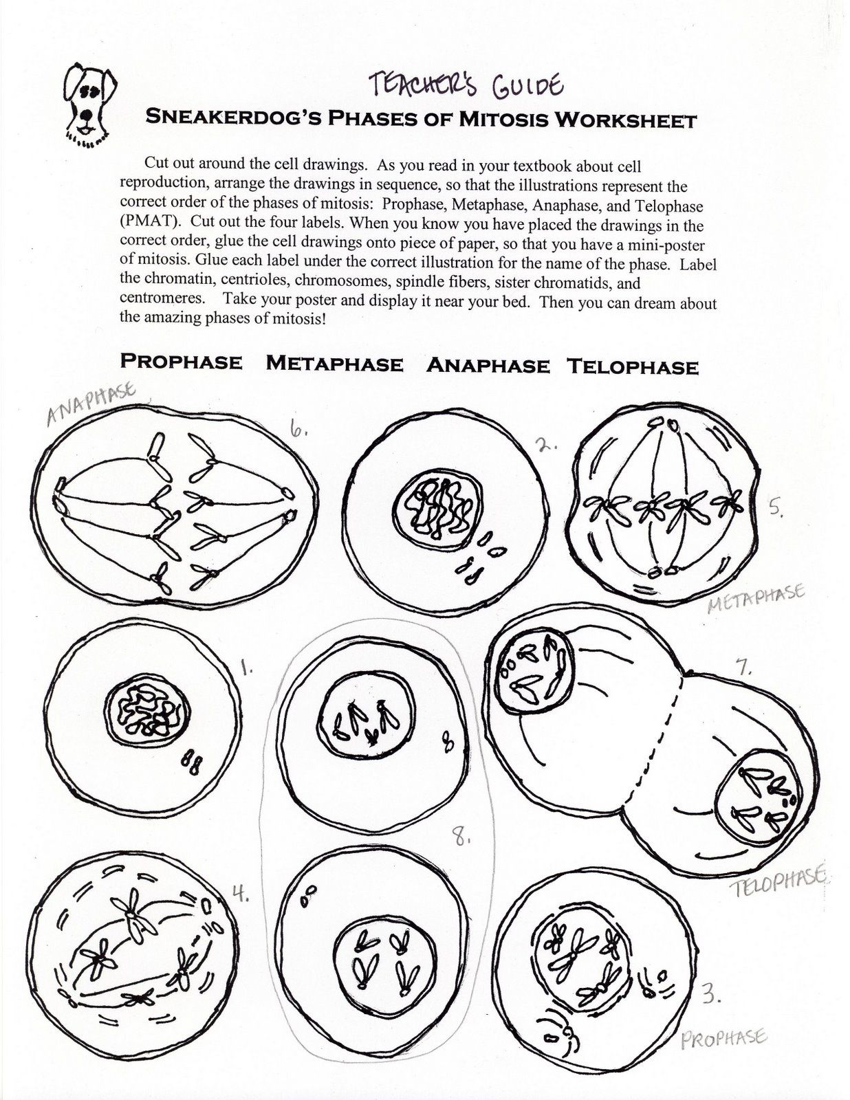 Phases Of Mitosis Activity Worksheet