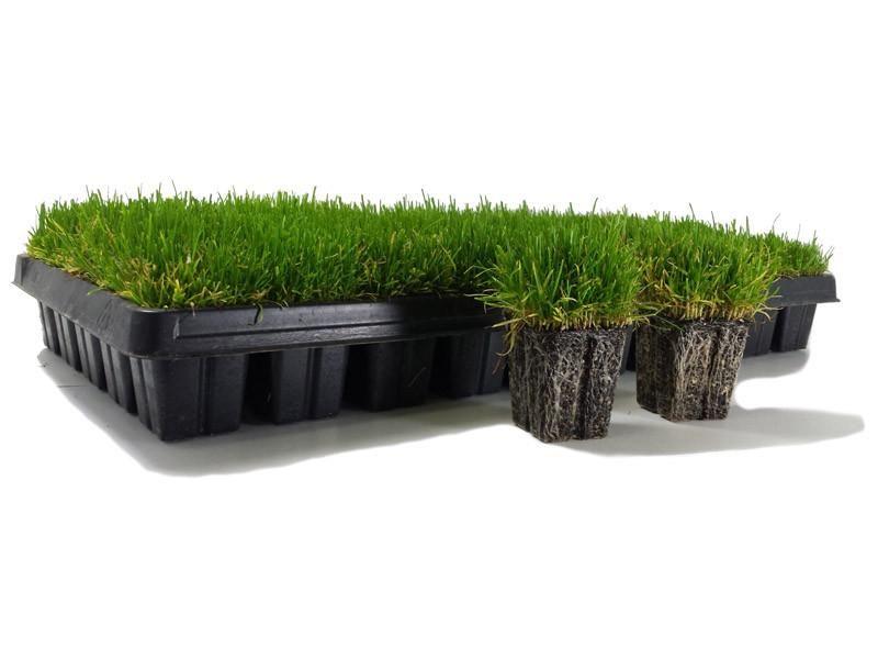 Zoysia Grass Plugs 50 Count Tray Zoysia Grass Grass Plugs Grass