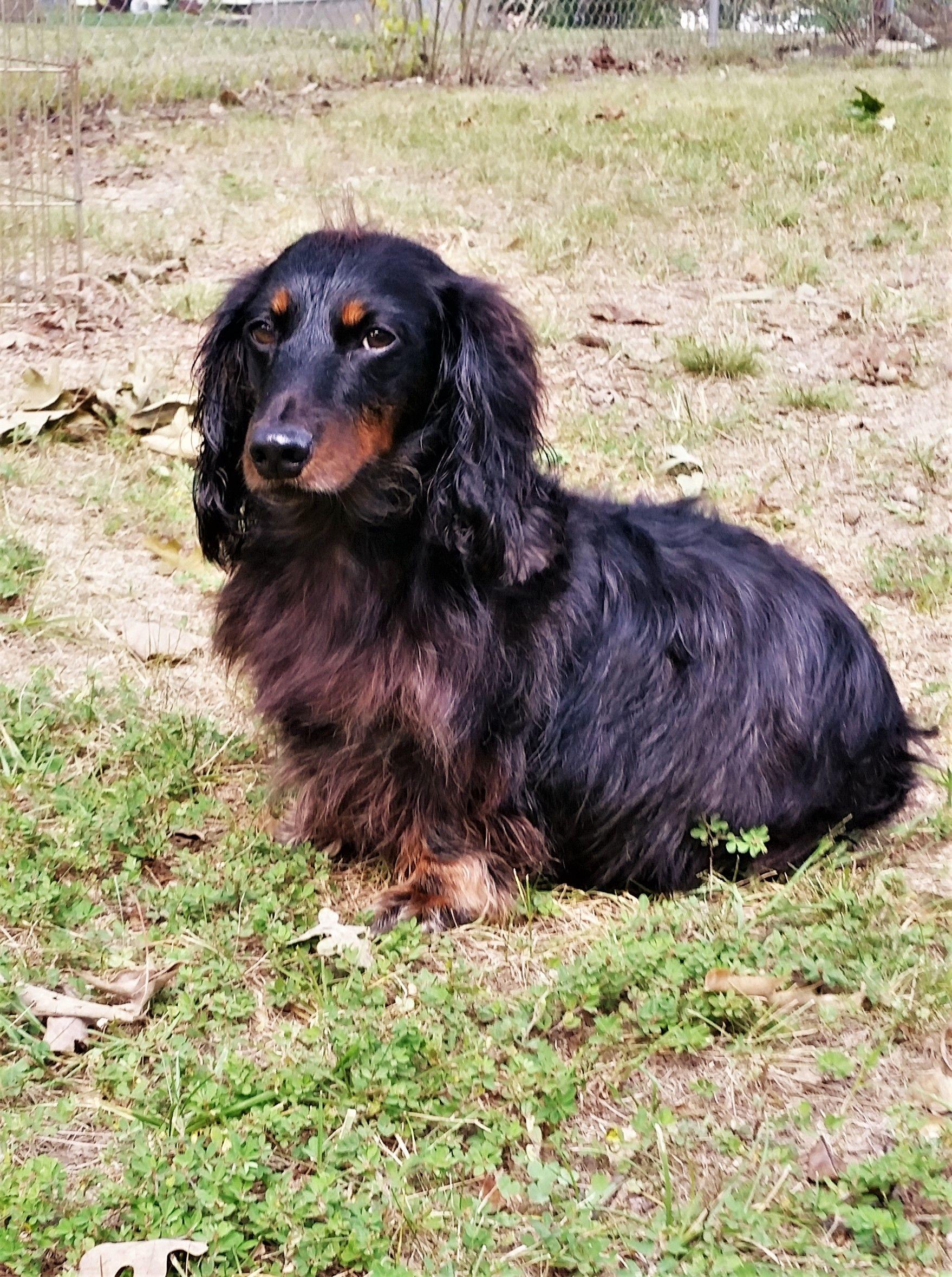 Dachshund Dog For Adoption In Lewisburg Tn Adn 684398 On