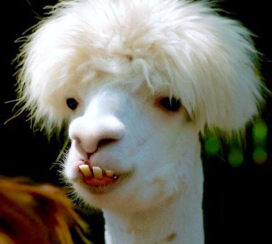 Is That A Gay Ass Llama Or An Ugly Ass Alpaca?