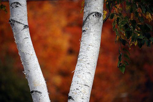 Birch Tree on Orange_4688