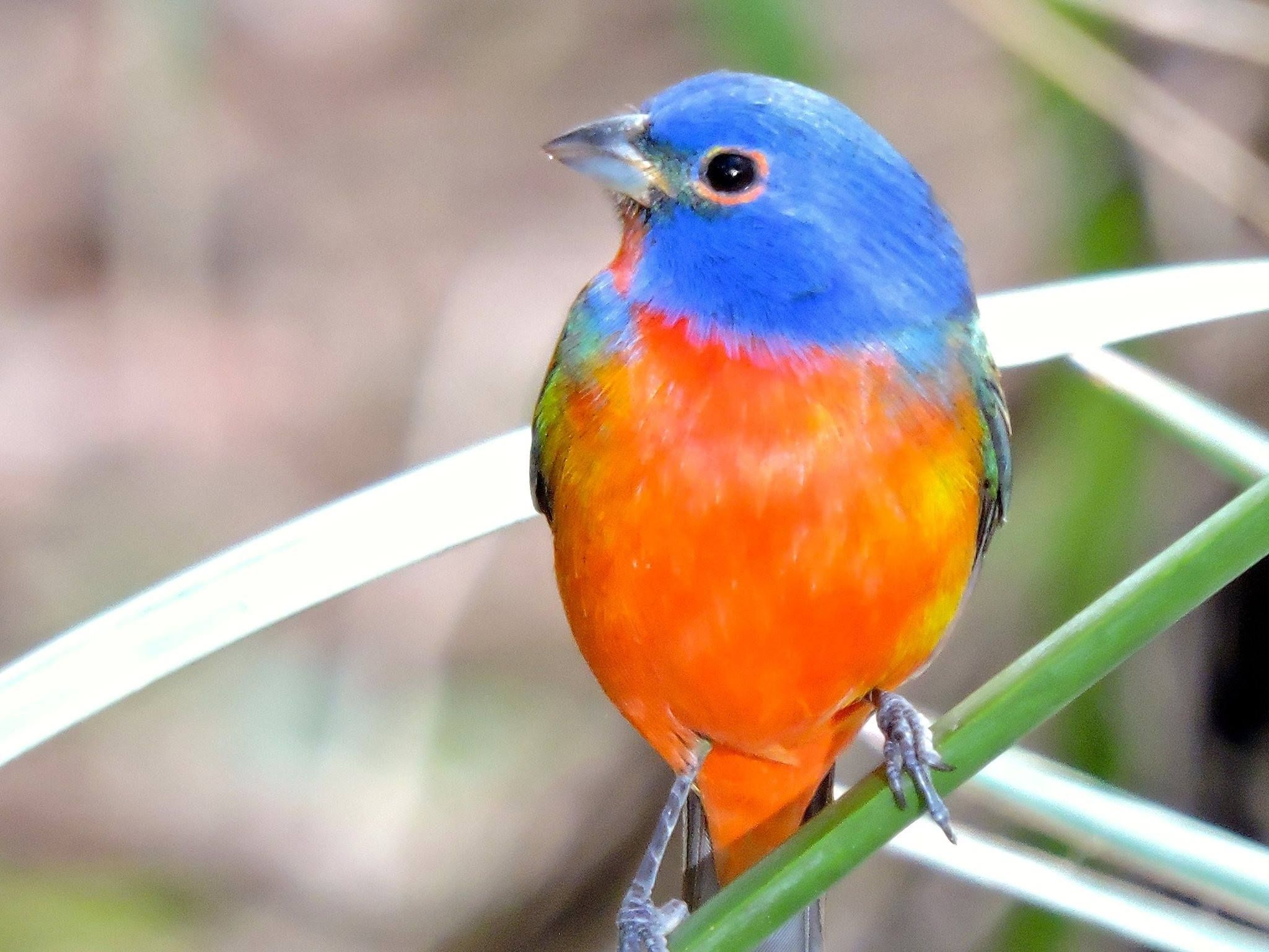 Painted Bunting, Green Cay Nature Preserve, Delray Beach, FL