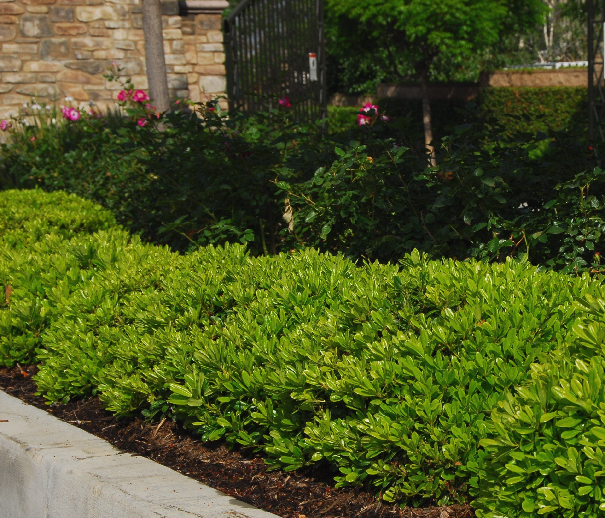 Wheelers Dwarf Pittosporum recommended by Gary at Mollars Home