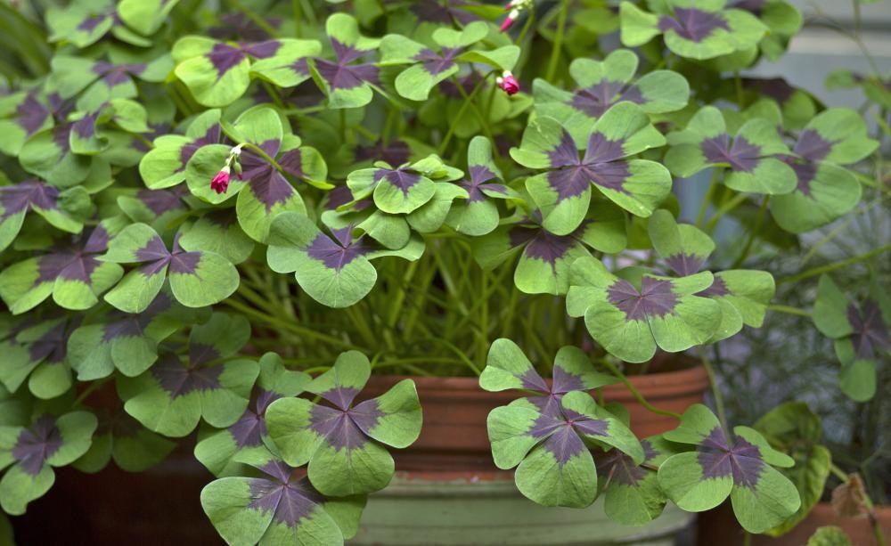 Glucksklee Richtig Pflegen Pflanzen Klee Pflanze Glucksklee