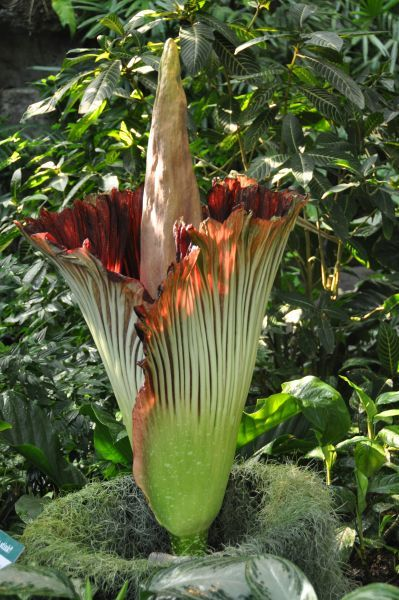 Odorous Corpse Flower Blooms Again At Mo Botanical Garden Corpse Flower Corpse Flower Bloom Missouri Botanical Garden