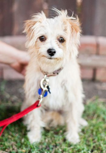 Adopt Corey On Maltese Mix Cairn Terrier Mix Terrier Mix