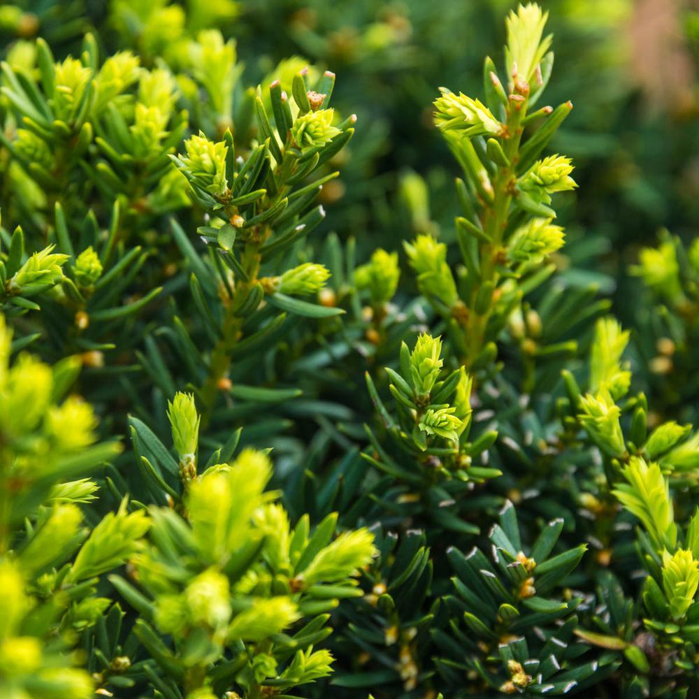 Spring Hill Nurseries 2 5 Qt Dark Green Spreader Yew Taxus