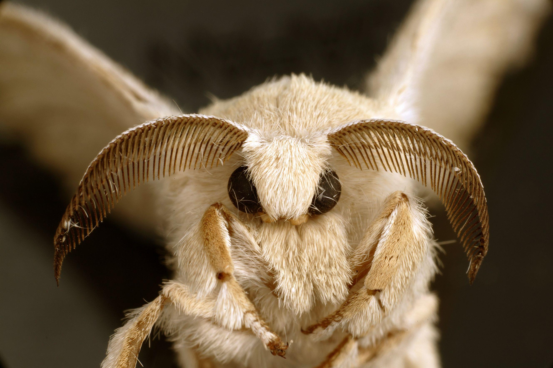 Https Upload Wikimedia Org Wikipedia Commons F F5 Csiro Scienceimage 10746 An Adult Silkworm Moth Jpg Motte