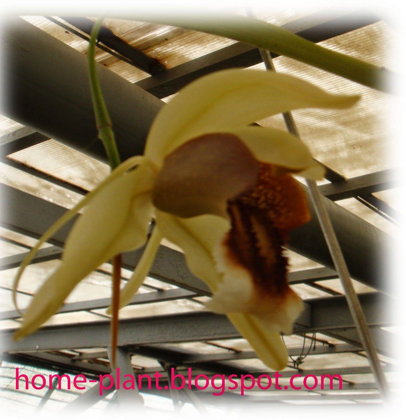 Комнатные растения для души и настроения: Орхидея целогина (Coelogyne): уход в домашних усло...