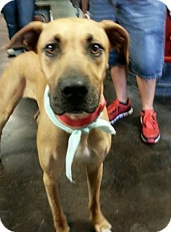 Lake Charles La Rhodesian Ridgeback Great Dane Mix Meet Cayla