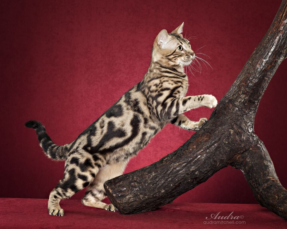 Funky Cats Bengals Bengal Cat Breeder Melbourne Victoria Bengal Cat Breeders Bengal Cat Pedigree Cats