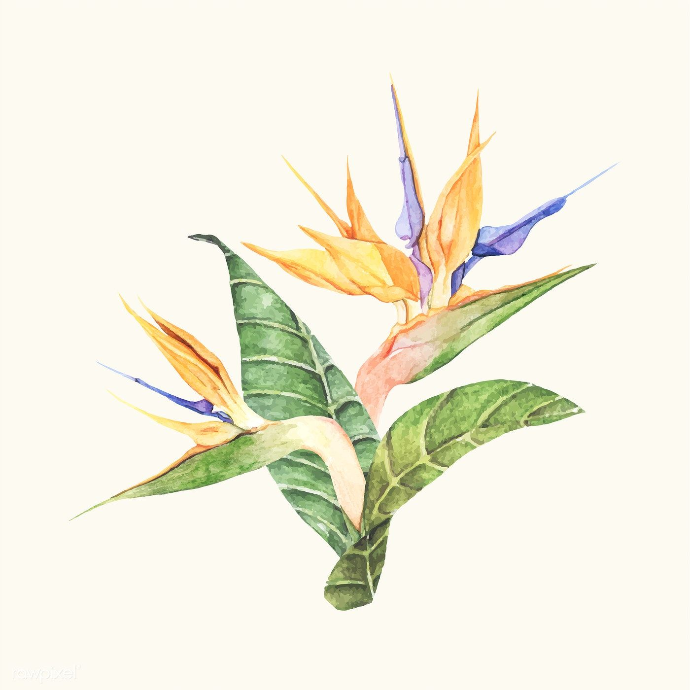 Hand Drawn Bird Of Paradise Flower Isolated Free Image By Rawpixel Com Birds Of Paradise Flower How To Draw Hands Free Vector Illustration