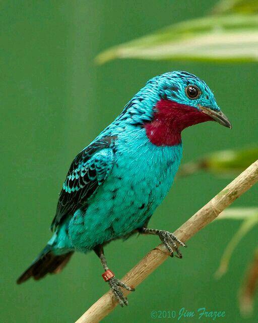 Cotinga celeste (Cotinga cayana). Es un ave de la familia Cotingidae que mide alrededor de 20 cm y es nativa del norte deSudamérica.