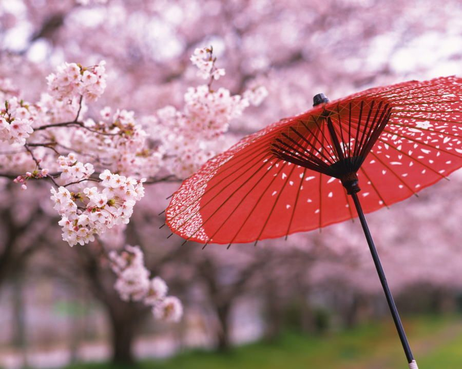 Pink Red Cherry Blossom Meaning Cherry Blossom Japan Cherry Blossom