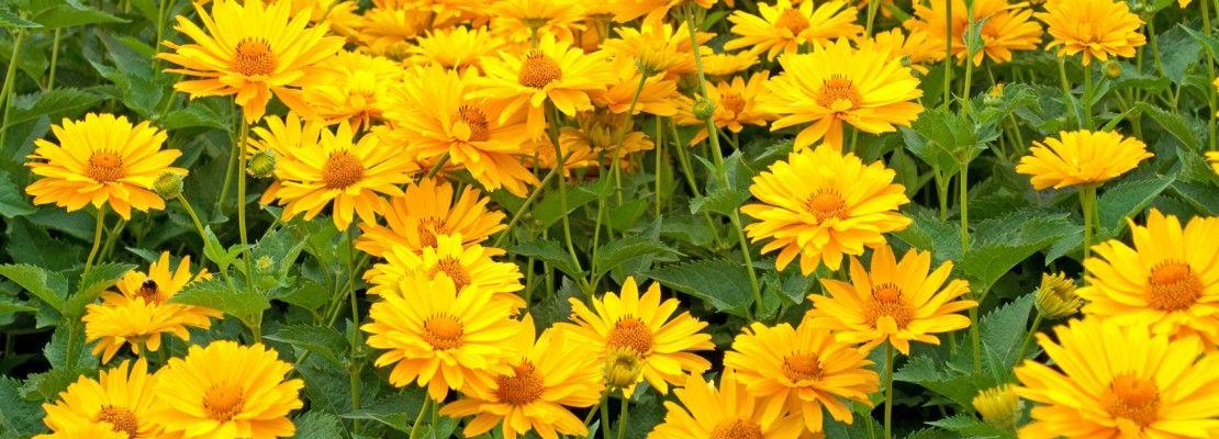 Fiori gialli da piantare adesso per riscaldare l autunno for Fiori da giardino perenni
