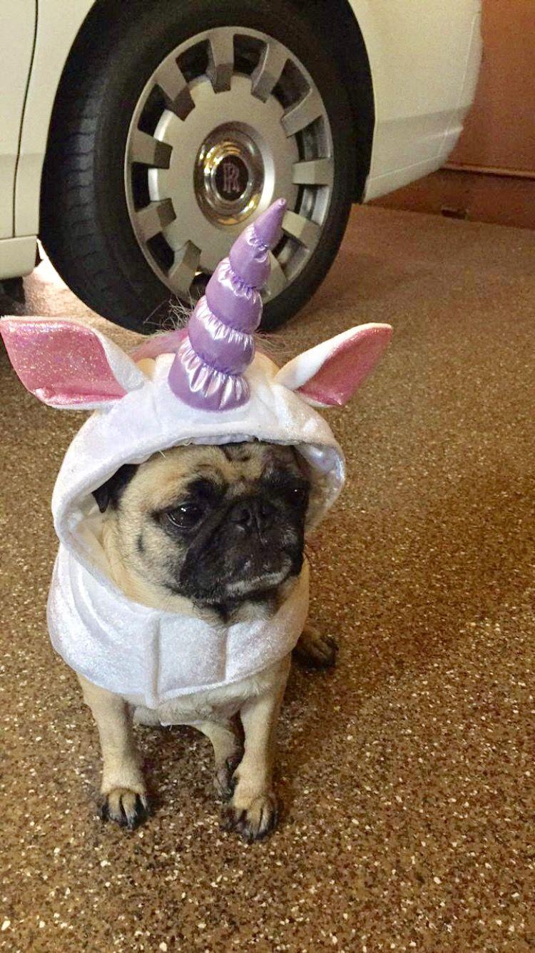 pug halloween costume - Pugs Halloween Costumes