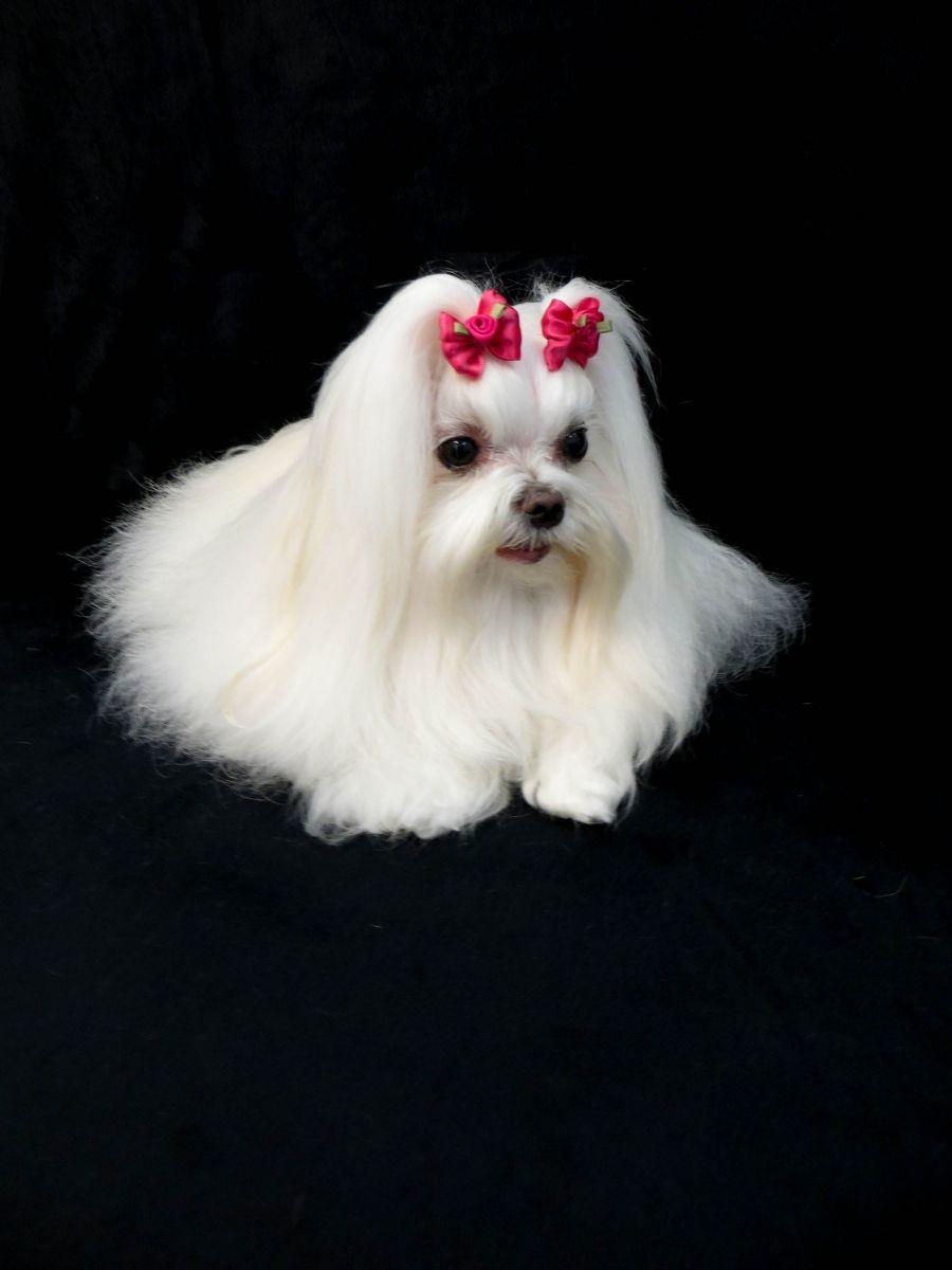 Tampa's Best Pet Dog Grooming Services ! Malteser, Lange