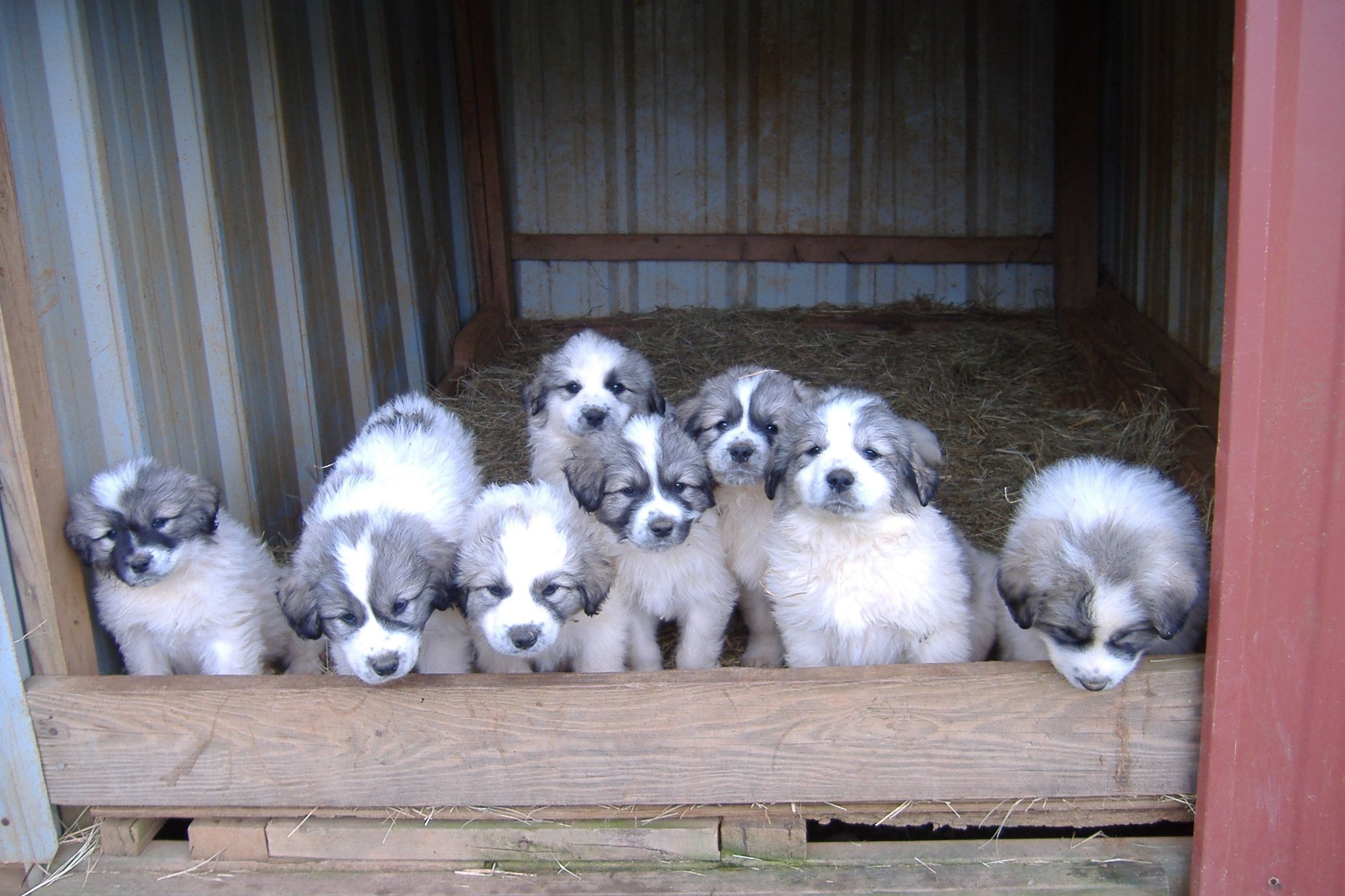 Group Of Puppies Few Of The Puppies From Previous Litter Cheyenne Puppy Great Pyrenees Dog Great Pyrenees Top Dog Breeds