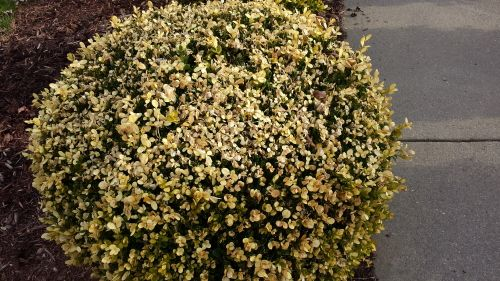 Boxwood Winter Burn Best Time To Prune Is In April Winter Burn Boxwood Plant How To Dry Basil